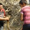 Female anaconda rescue