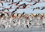 Flamingos & Cabot's Terns