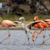 Flamingos with Juvenile