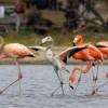 Flamingos with Juvenile