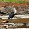 Goliath Heron&Egyp.Goose