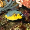 Black-spotted Puffer