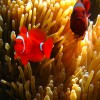 m.f. Spine-cheek Anemonefish