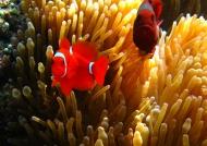 m.f. Spine-cheek Anemonefish
