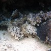 Crocodile Fish head