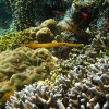 Golden Trumpetfish