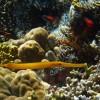 Golden Trumpetfish