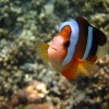Orange Clark's Anemonefish