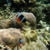 Orange Clark's Anemonefish