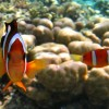 Orange Clark's Anemonefishes