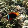Red & Black Anemonefish