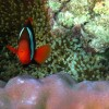 Red & Black Anemonefish