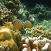 Redfin Butterflyfishes