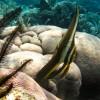Teira Batfish