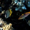 Butterflyfishes & wrasse