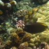 Whitecheek Surgeonfish