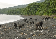 Macaques at seaside