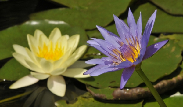 Blue and Yellow Lotus