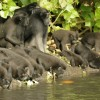 Thirsty Crested Macaques
