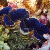 Small Giant Clam