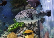 Starry Pufferfish