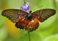 Violet Lacewing