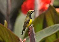 m. Olive-backed Sunbird