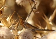 Nosed Grasshopper