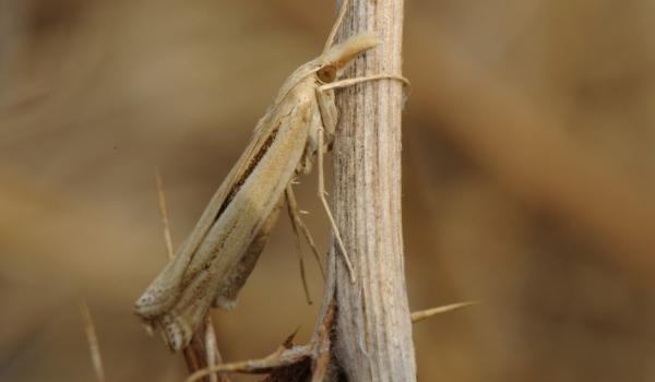 Small White Grass-veneer