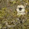 Grey Langur (Dochula Pass)