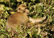 Also called Assam Macaque
