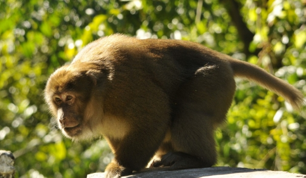 Assam Macaque near the road