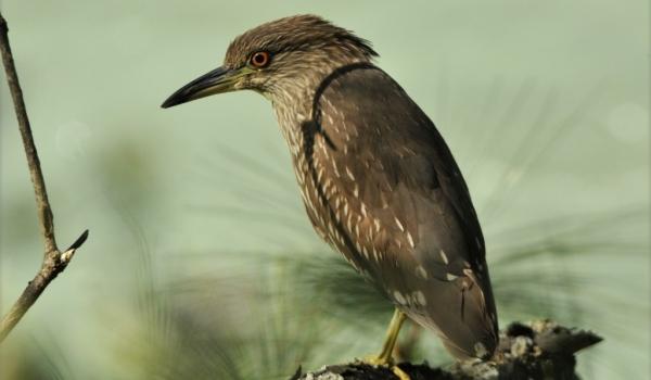 Black-crowned Night Heron j.