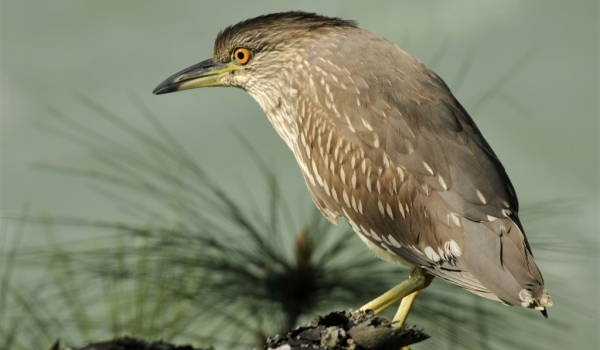 Black-crowned Night Heron j.