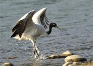 Bhutan – Black-necked Crane