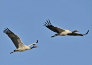 Black-necked Cranes m. & f.