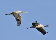 Black-necked Cranes ad. & juv.