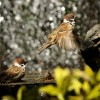 Eurasian Tree Sparrows