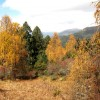 Larches-deciduous conifers