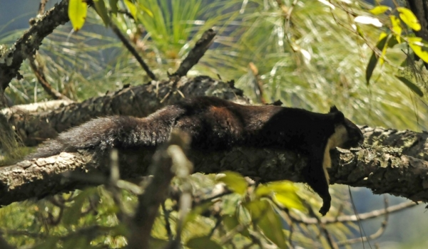 Malayan Giant Squirrel resting