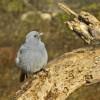 Plumbeous Water Redstart m.