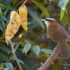 Streak-breast. scimitar Babbler