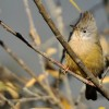 Stripe-throated Yuhina