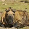 Takin (National animal)