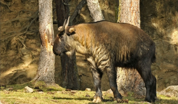 Takin (Goat-antelope)
