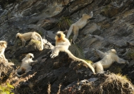 Licking mineral salts on cliffs