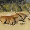 Elands jumping