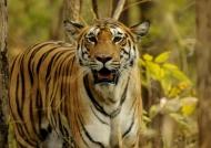 Tiger – Pench N.P.
