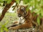 Tigers-Pench/Tadoba