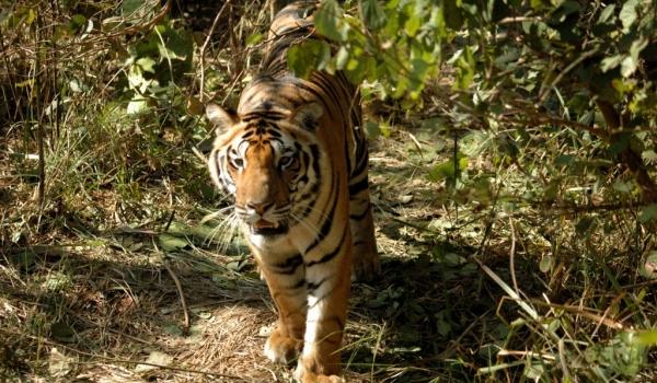 Tiger – Kanha N.P.